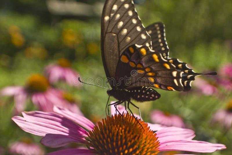 Profil de papillon de machaon sur l'extrémité de fleur d'Echinacea photo libre de droits