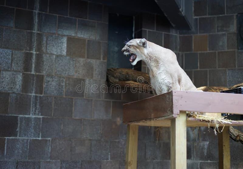 Profil de puma d'hurlement photographie stock