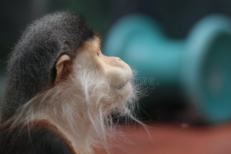 Profil de singe photographie stock libre de droits