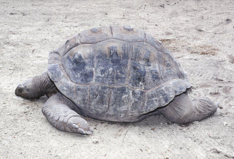 Profil de tortue de cadre orientale image stock