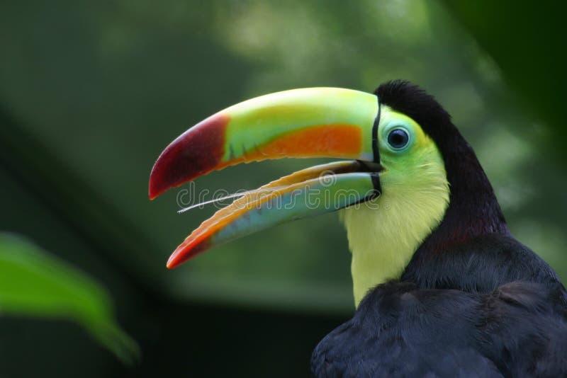 Profil de Toucan images stock