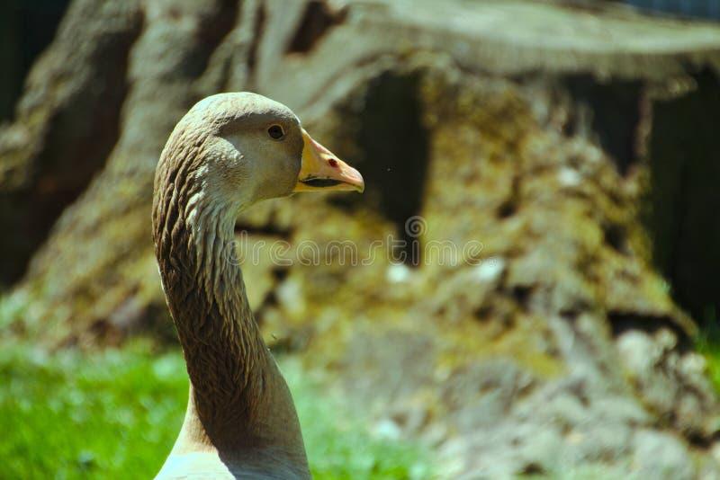 Profil de un ganso gris foto de archivo libre de regalías