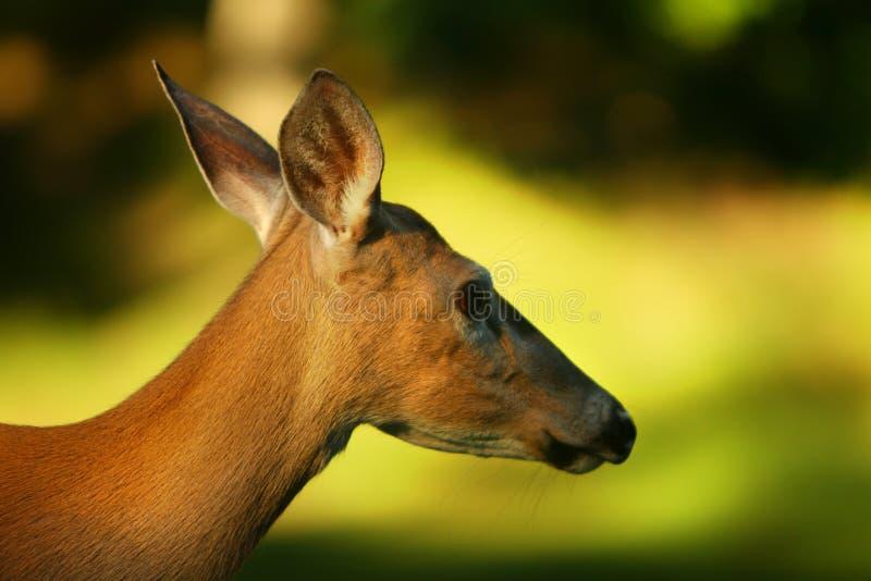 Profil des cerfs communs de Whitetail image libre de droits