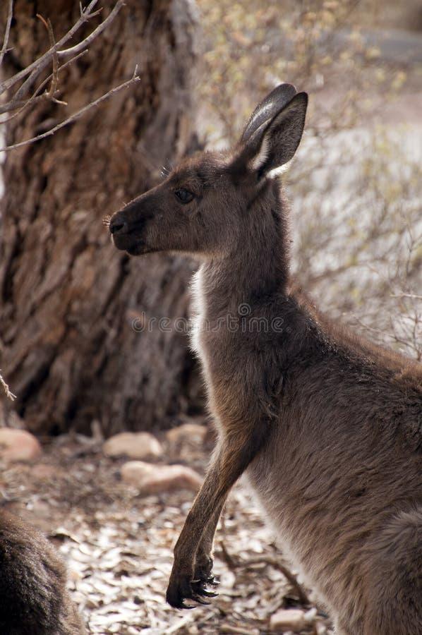 Profil des erwachsenen Kängurus auf Alarm stockbilder