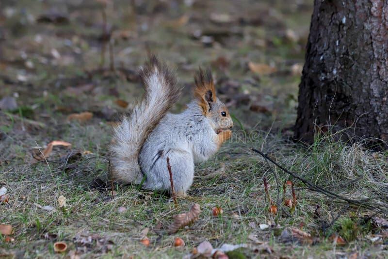 Profil des eurasischen Eichhörnchen Sciurus gemein im grauen Wintermantel, der Haselnuss isst lizenzfreie stockfotos