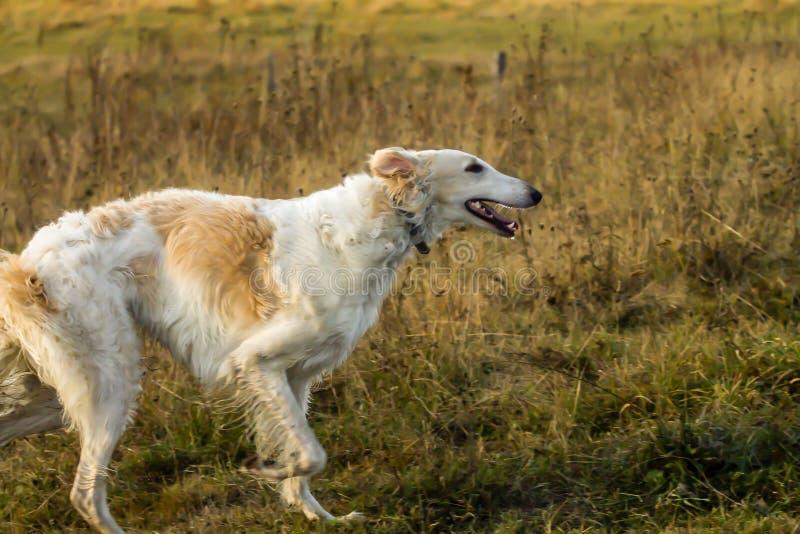 Profil des laufenden Hundes des Russischen Windhunds stockfotografie