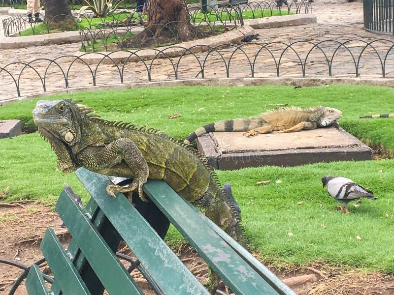 Profil des Leguans auf einer Bank an Seminario-Park, Guayaquil Ecuador lizenzfreie stockfotografie