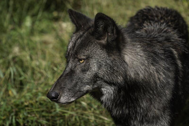 Profil des schwarzen Timberwolfs stockfoto