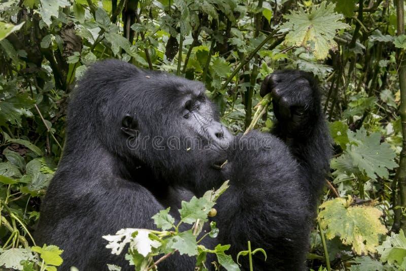Profil des Silverbackberggorillas, undurchdringlicher Vorderteil Bwindi lizenzfreies stockbild
