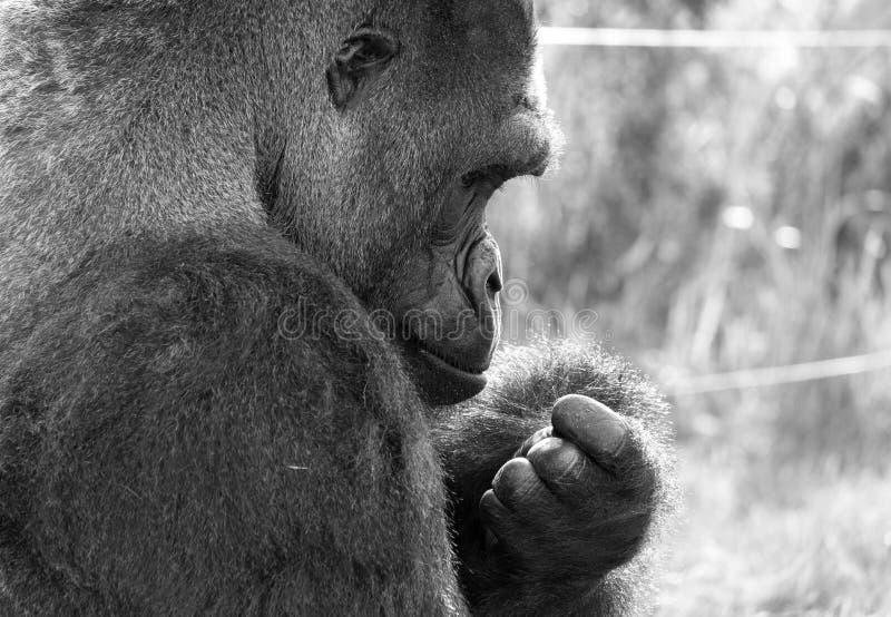 Profil des Westtiefland-Gorillas, erwachsener Mannsilverback Fotografiert am Hafen Lympne Safari Park nahe Ashford Kent Großbrita stockfotos
