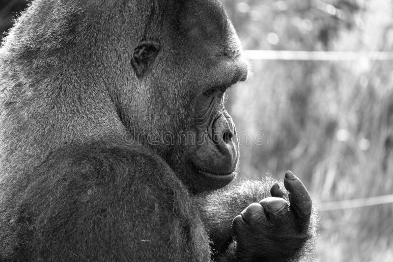 Profil des Westtiefland-Gorillas, erwachsener Mannsilverback Fotografiert am Hafen Lympne Safari Park nahe Ashford Kent Großbrita lizenzfreie stockbilder