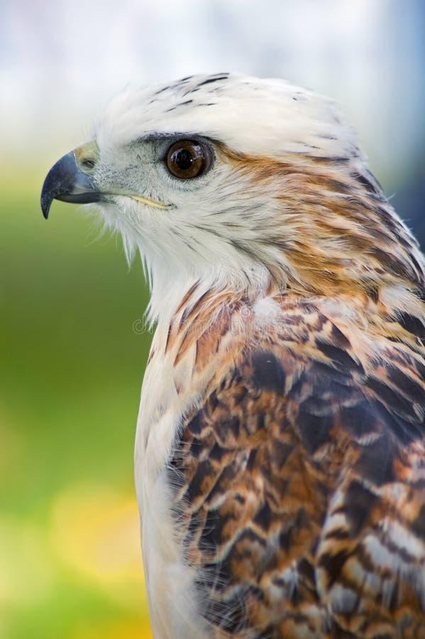 Profil du faucon de Krider (jamaicensis de Buteo) photographie stock libre de droits