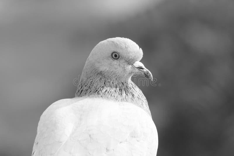 Profil du ` s d'oiseau : Plan rapproché de pigeon regardant en avant image stock