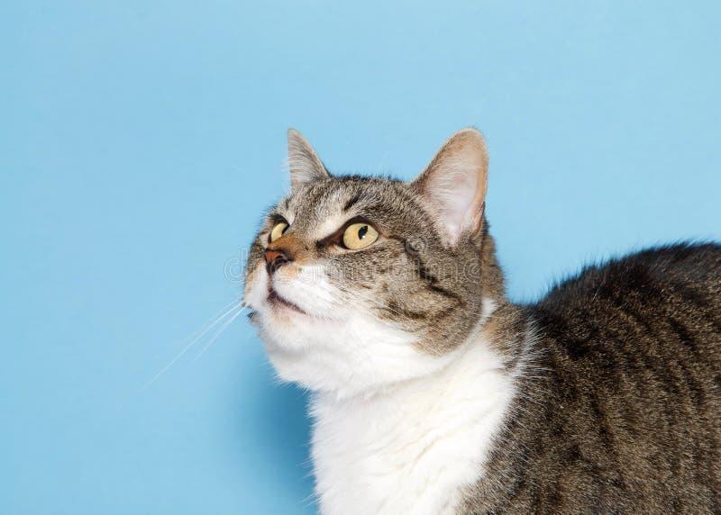 Profil einer grauen und weißen Katze der getigerten Katze auf blauem Hintergrund lizenzfreie stockbilder