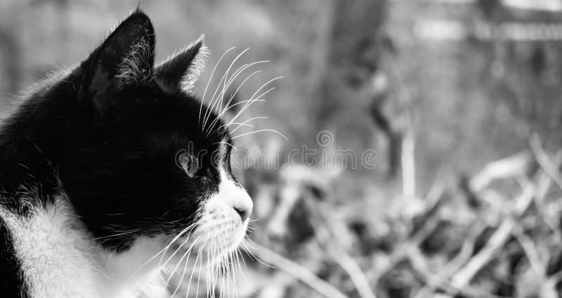 Profil einer kleinen alten Katze mit Schwarzweiss-Mantel vor einem unscharfen Hintergrund mit vielem freien Raum stockbilder