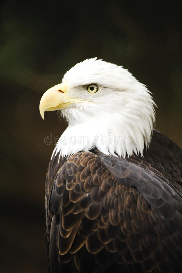 Profil eines kahlen Adlers lizenzfreies stockfoto
