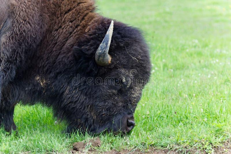 profil för amerikansk bison royaltyfri bild