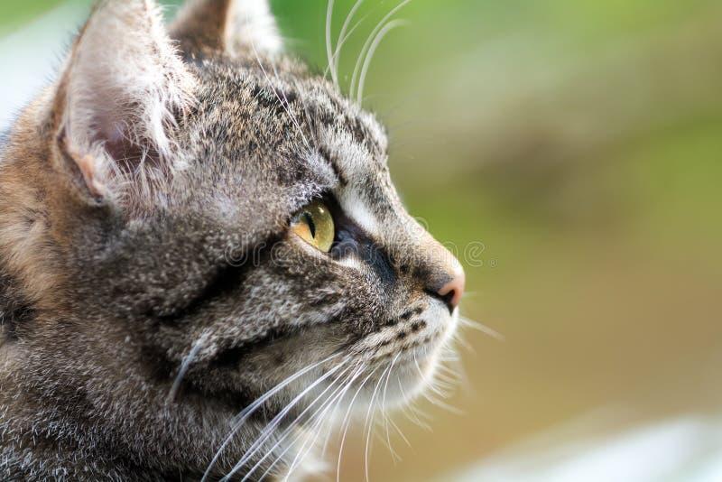 Profil för huvud för strimmig kattkatt, slut upp med kopieringsutrymme royaltyfri fotografi