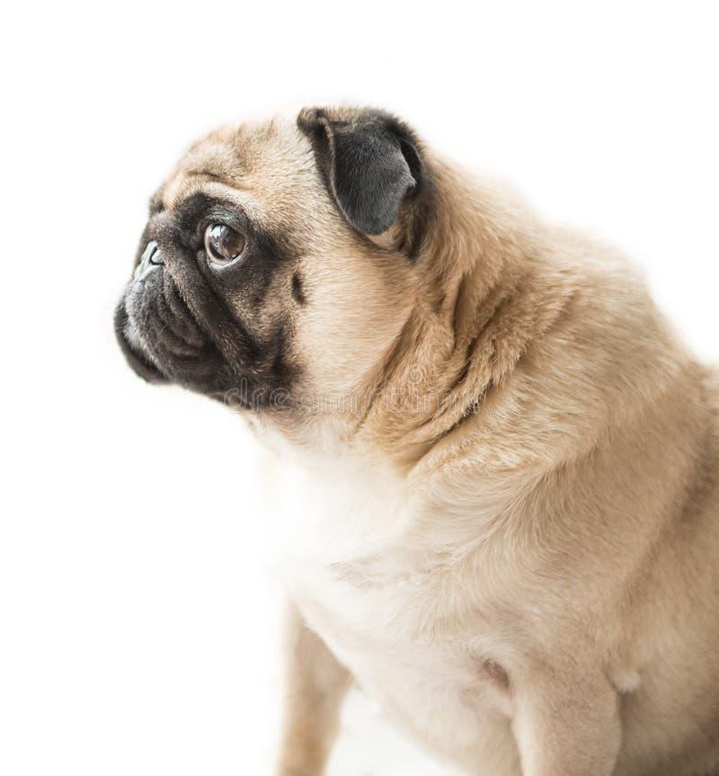 Profil för mopshundframsida fotografering för bildbyråer