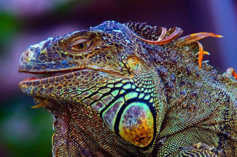 Profil géant coloré d'iguane photographie stock libre de droits