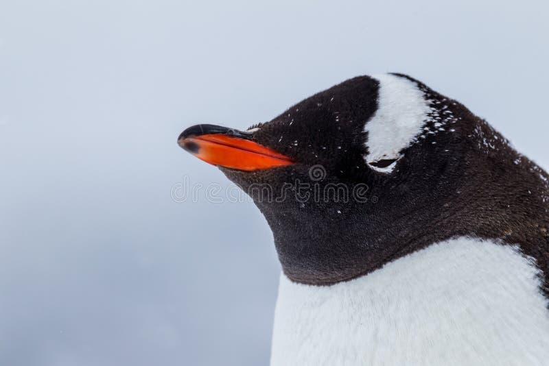 Profil gentoo pingwin w śnieżycy obrazy stock