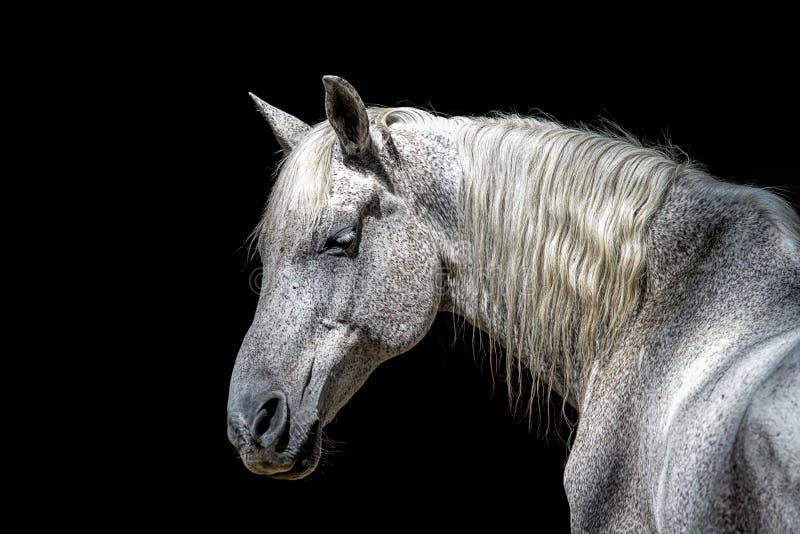 Profil latéral d'un cheval blanc photos stock