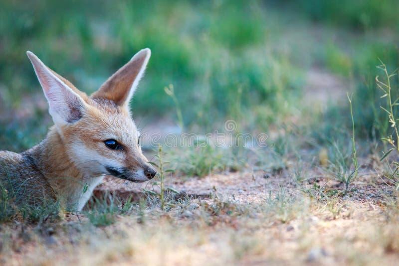 Profil latéral d'un renard de cap photo stock
