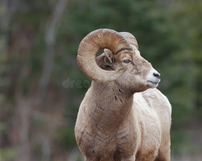 Profil latéral de Ram photos stock