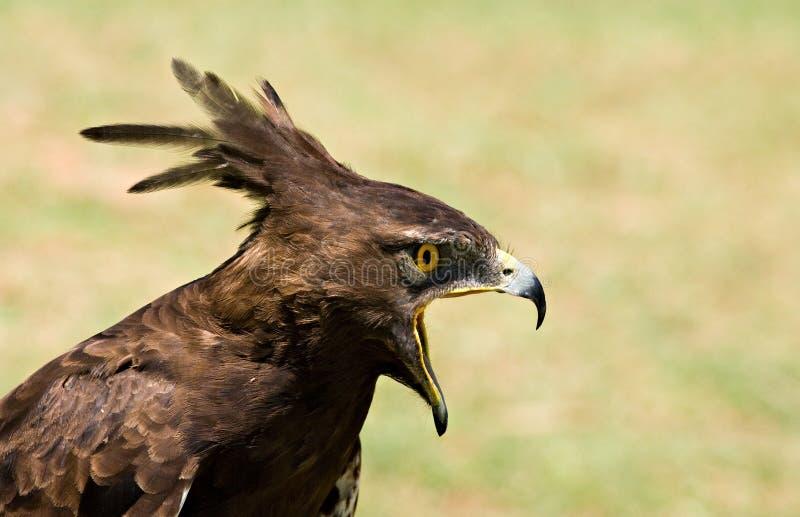 profil longcrested par aigle image stock