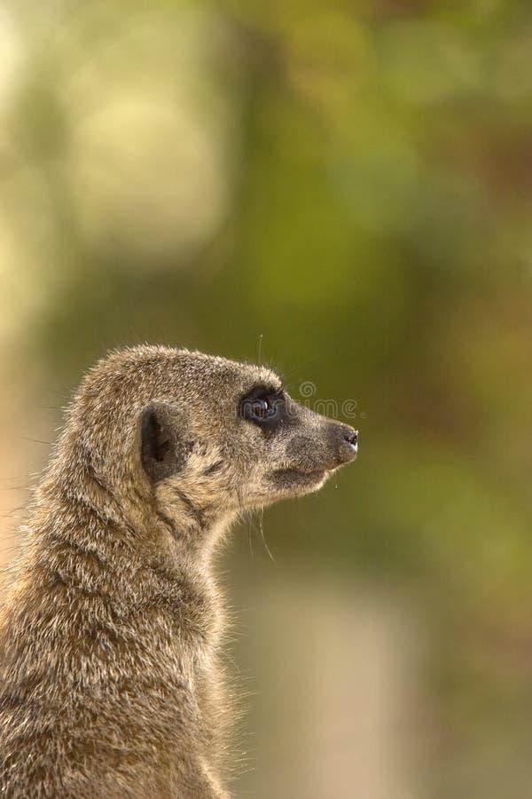 profil meerkat obraz stock
