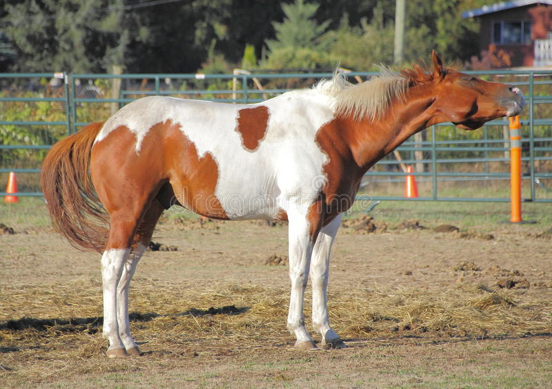 Profil-Pferd, das Kopf rüttelt lizenzfreie stockfotos