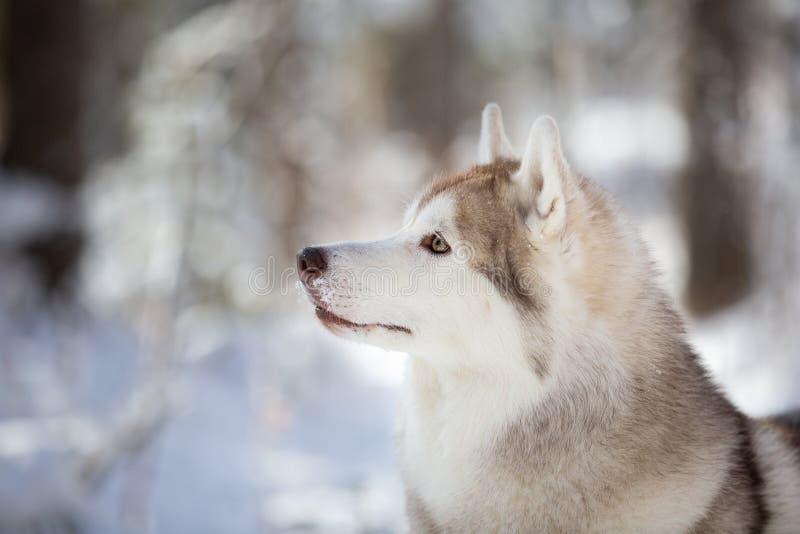 Profil-Porträt des entsteinten herrlichen und freien Hundes des sibirischen Huskys, der auf dem Schnee im feenhaften Wald im Wint stockbild
