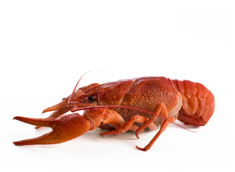 Profil rouge d'isolat de poissons de jabot image libre de droits