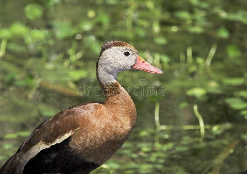 Profil siffleur de canard photo libre de droits