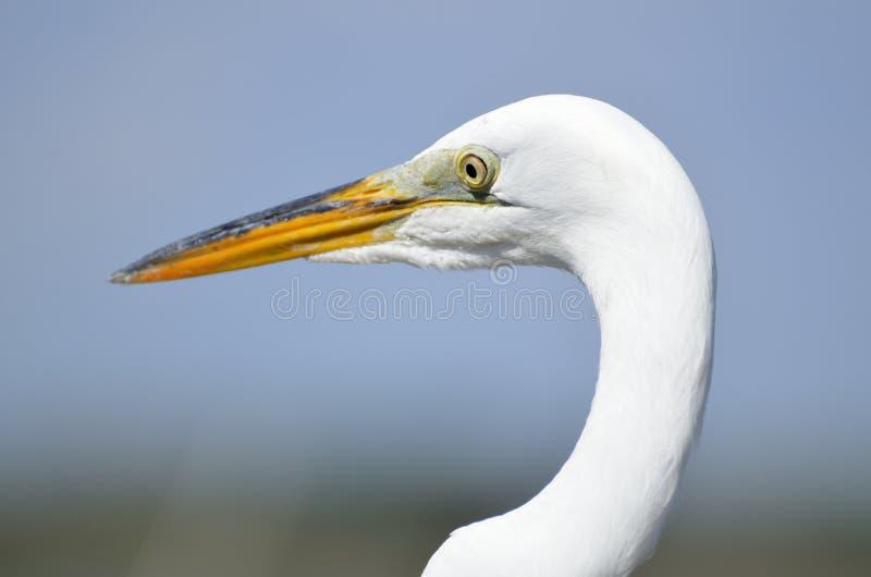 Profil wielkiego bielu czapla zdjęcia royalty free