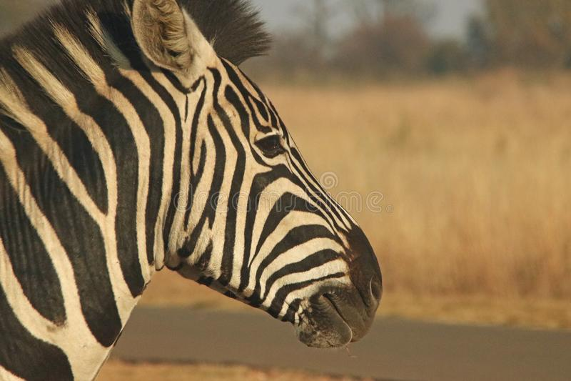 Profil zebra obraz royalty free