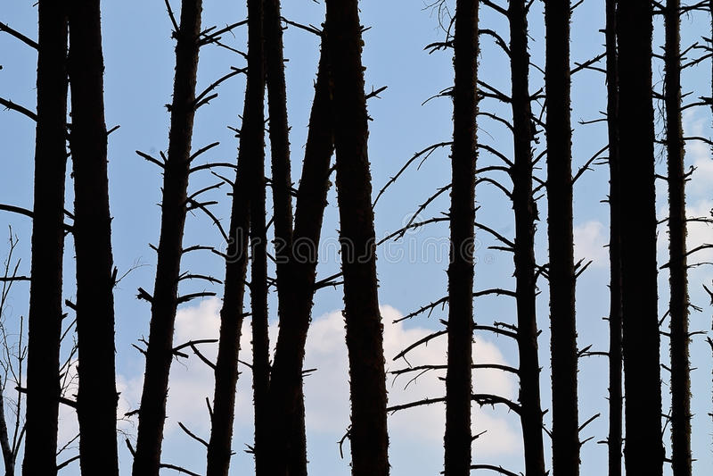 Profila i tronchi dei pini fotografie stock