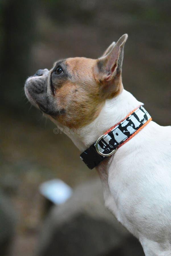 Profilansicht einer roten gescheckten französischen Bulldogge mit gespenstischem Geistkragen stockbilder