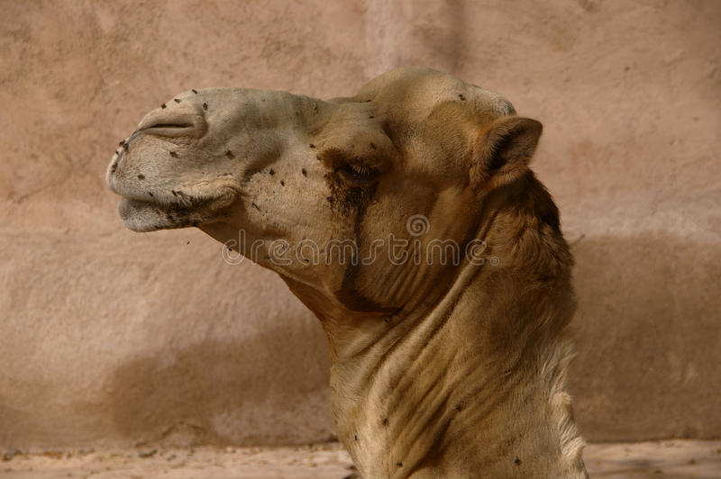 Profile Of An African Camel Stock Image - Image Of Africa -8732