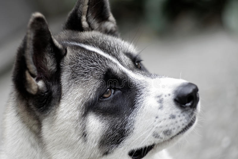 Download Profile Of Akita Dog Royalty Free Stock Image - Image: 26341936