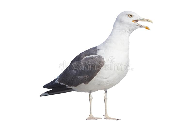 Profile of angry seagull on white background royalty free stock images