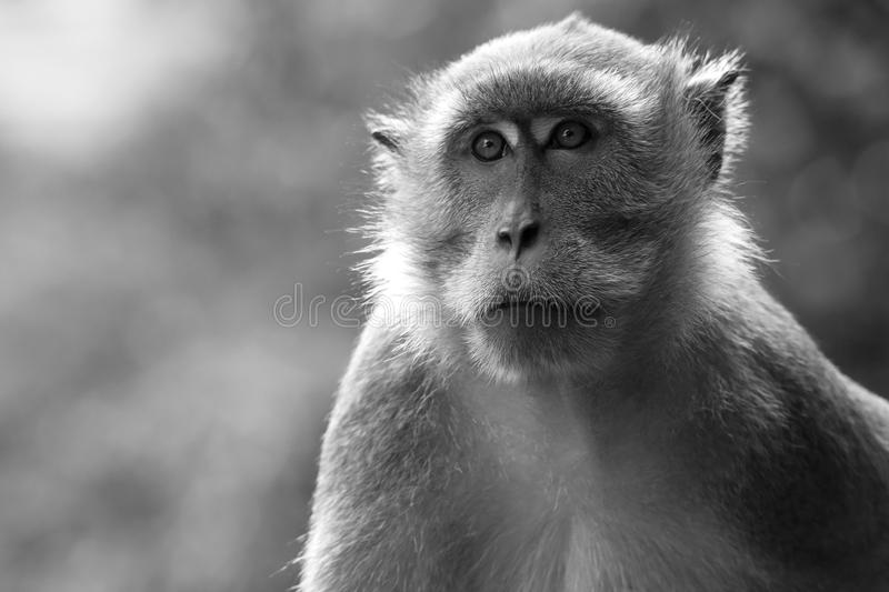 Profile of an ape royalty free stock photography