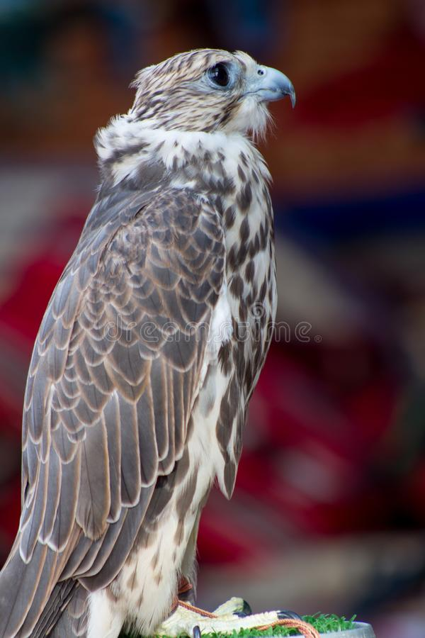 Profile for an arabian falcon royalty free stock image