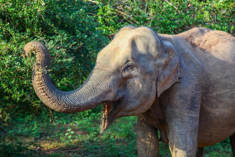 Profile of Asian elephant reaching trunk to eat leaves in Yala National Park stock image