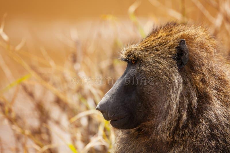 Profile of baboon staring ahead in Kenyan savannah. Profile of adult Olive baboon staring ahead in Kenyan savannah, Africa royalty free stock image