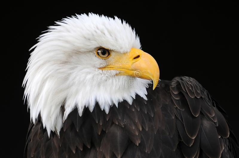 Profile of a bald eagle. Portrait of a bald eagle watching something closely in his environment