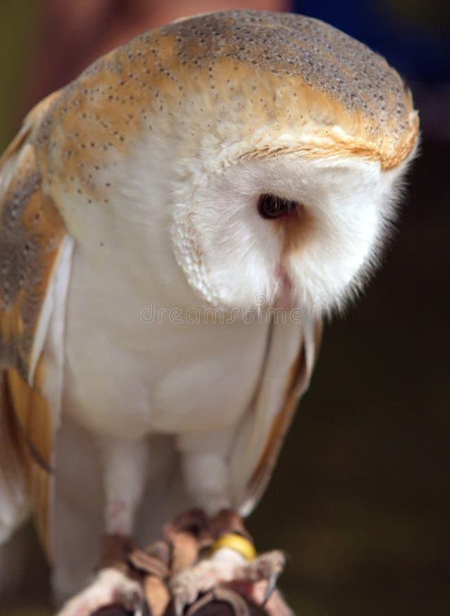 Barn Owl in Deep Reflection. Profile of a beautiful barn owl