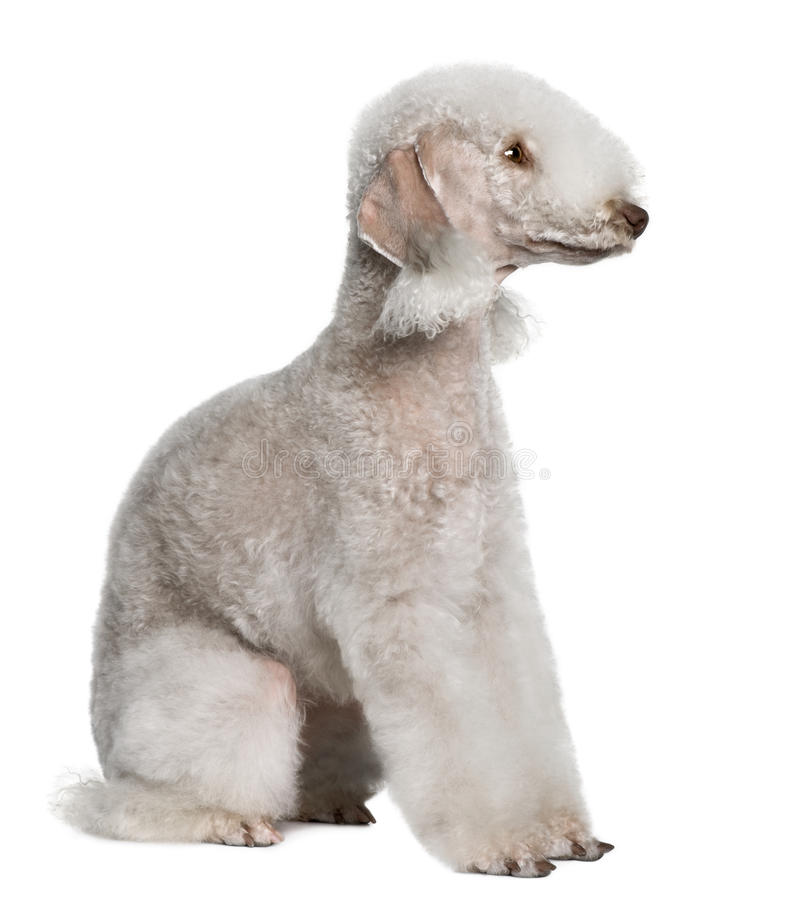 Profile of Bedlington terrier, sitting royalty free stock image