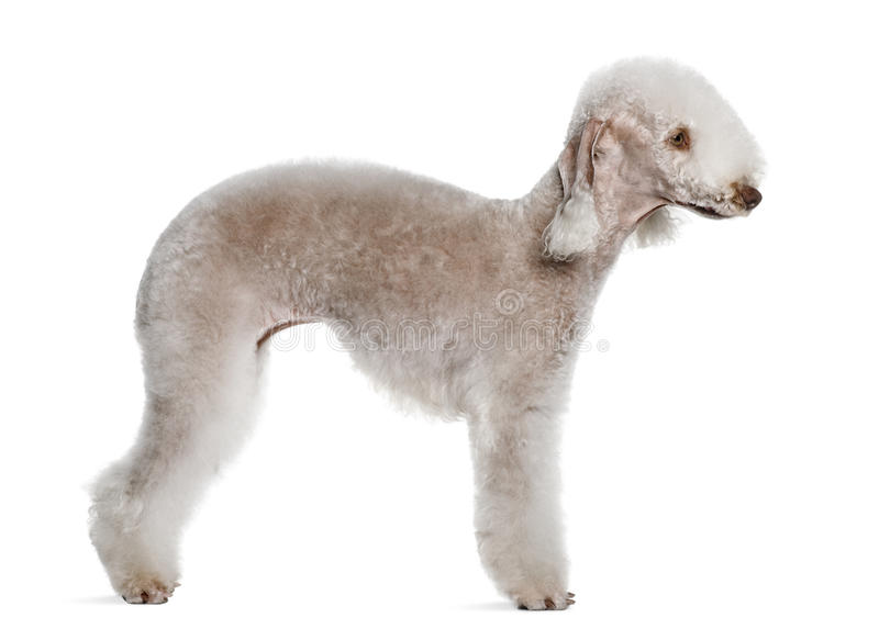 Profile of Bedlington terrier, standing royalty free stock images