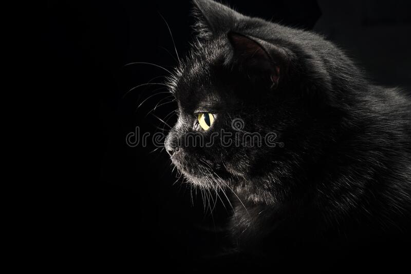 Profile of a black cat on a black background. Close-up of a cat`s face with a yellow sparkling eye stock photography